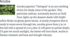 Acuba - shade plant
