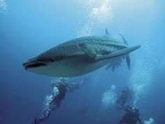 Whale Sharks: The gentle giants of the Indian Ocean