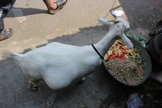 The Pregnant Dwarf Goat of Bandra Bazar Is Expecting Any-day