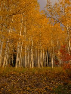 Colorado aspens in fall - outside of Steamboat Springs