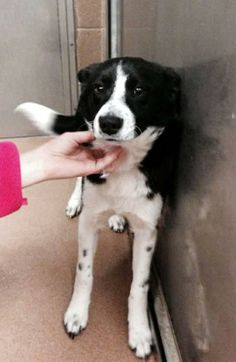 Roxie will be on her way to a foster home in Denver, CO. She is 12 months old or less. Roxie is a smooth coated Border Collie. She loves to play, gets along with other dogs, and likes all types of people. We aren't sure how she is with cats. Roxie...