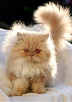 orange persian cat  (via micklyn)