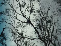 """Koala trees"", Otway Peninsula, Victoria, Australia"