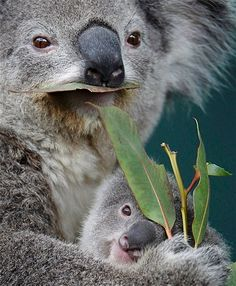 Image: Koala joey named 'Boonda' hugs his mother 'Elle' as she eats eucalyptus leaves in their enclosure at Wildlife World in Sydney (© TIM WIMBORNE//Reuters)