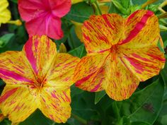 Mirabilis jalapa (Four O'Clock flower) at home - opens around 4pm and closes again by morning - slightly scented