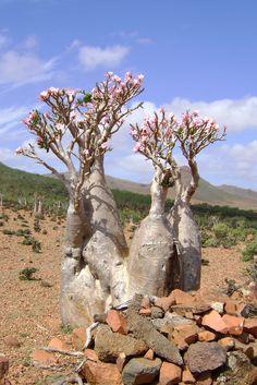 DSC02976 Bottle Tree (Adenium obesum socotranum)