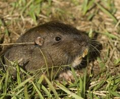 Eliminate Gophers With Gopher Repellent Or Other Means Of Gopher Control - Gophers can be a serious problem for a homeowner. While they may be cute looking, the damage they wreak can be far from cute. So learning how to get rid of gophers becomes a priority, and this article can help.