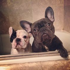 French Bulldogs clearly NOT enjoying their bathtime.