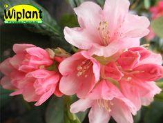 Tuuhea ja hidaskasvuinen alppiruusu Vieno on ikivihreä ja kukkii keväällä vaaleanpunaisin kukin