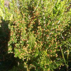 Erica Inconstans    Uitenhage Tree Heath      Uitenhageboomheide   S A no 574.1