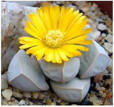 5 Packs x 20 Karoo Rose Lapidaria Margaretae - Rare mesembs living rock stome CACTUS cacti Succulent SEEDs - By MySeeds.Co Types Of Succulents, Cacti And Succulents, Planting Succulents, Cactus Plants, Planting Flowers, Growing Succulents, Succulent Landscaping, Landscaping Plants, Landscaping Ideas
