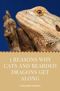 Thinking of adding a reptile to your pet family? In honor of World Lizard Day, EverythingReptiles.com tells us why cats and bearded dragons can be great friends! Litter Robot, Household Pests, Cat Friendly Home, Bearded Dragon, Great Friends, Cat Gif, Your Pet, Dragons, Cool Things To Buy