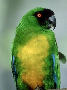 Masked Shining Parrot (Prosopeia personata). Also known as the Sulphur ...
