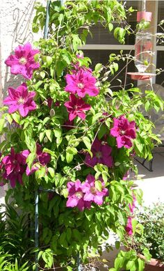 Ernest Markham clematis: magenta, blooms summer; prune after flowers to encourage rebloom into the fall; roots needs to be shaded but vine grows best in full sun.