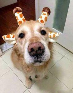 Golden retriever of giraffe? Cute Baby Animals, Animals And Pets, Funny Animals, Wild Animals, Cute Puppies, Cute Dogs, Dogs And Puppies, Doggies, Labrador Puppies