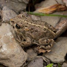 Unter www.naturgucker.de/np-eifel können Besucher Tierbeobachtungen wie Kreuzkröten melden. Foto: A. Pardey