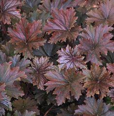 Heuchera villosa f. purpurea 'Bronze Wave' Hairy alumroot from North Creek Nurseries