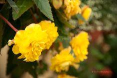 Gumós Begónia (Begonia × tuberhybrida) gondozása, szaporítása (Nagyvirágú Gumós Begónia) Begonia, Home And Garden, Plants, Plant, Planets