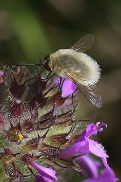 Nope, not bees but they are pollinators! Bee flies are so cute!