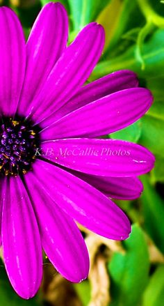 I grew these purple daisies this past year and thought they had such a gorgeous color.  Took many photos of them.