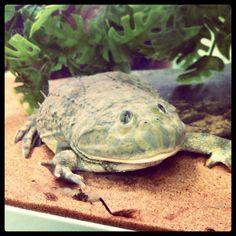 Budgett's frog (Genus: Lepidobatrachus) | Amphibian of the Order: Anura; Family: Leptodactylidae