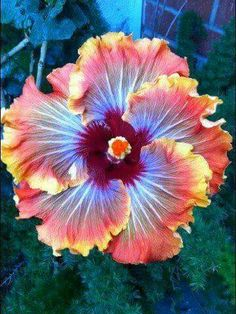 Fiery furnace hibiscus. So pretty! And aptly named!
