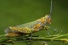Panther-spotted Grasshopper (Poecilotettix pantherinus) by Mundo Poco on Flickr.