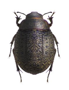 Photos - BUGS & INSECTS - Asbolus verrucosus