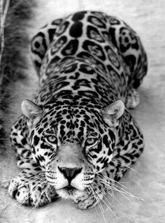 ♥ Hypnotizing. -- [REPINNED by All Creatures Gift Shop] GREAT photo!  Very smart to shoot in black and white, the impact is amazing!