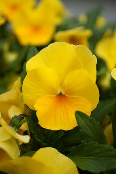 the yellow pansy (My absolute favorite flower!)