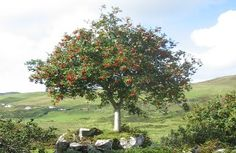 The Rowan Tree - Our life is composed greatly from dreams, from the unconscious, and they must be brought into connection with action. They must be woven together - Anais Nin