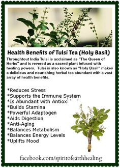 Simple Earth Medicine - The Health Benefits of Tulsi (Holy Basil) Tea Natural Health Remedies, Herbal Remedies, Natural Medicine, Herbal Medicine, Basil Tea, Healthy Herbs, Healthy Life, Healthy Living, Medicinal Plants