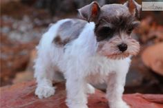 Schnauzer, Miniature Puppy for Sale: Liver Pepper, White & Liver & White Parti - 5bff91a0-11d1