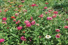 Plants to Dye For in the Garden | June 2012 eNewsletter
