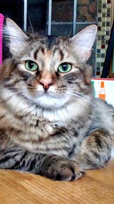 Abby if fluff could kill - http://cutecatshq.com/cats/abby-if-fluff-could-kill/