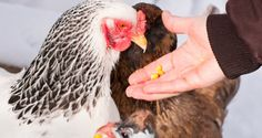 7 Important Steps To Prepare Your Chickens For Fall And Winter