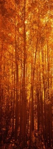 Aspen trees at sunrise in autumn, Colorado, USA Poster Print by Panoramic Images (12 x 36)