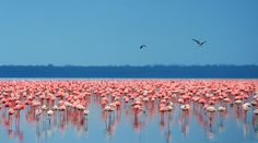 Stand tall in the crowd as these beautiful flamingos do! Lake Nakuru, in Nairobi is world-famous for the greatest bird spectacle on earth - myriads of fuchsia pinkflamingoswhose numbers are legion, often more than a million - or even two million. #pinkflamingo #africa #nairobi #travel