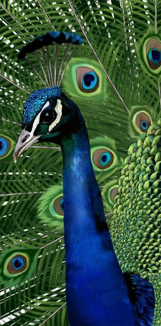 Peacock ~  zoo project by ~Deansta