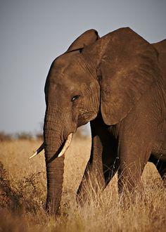 Elephant @ Kruger National Park, South Africa