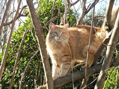 Rufus showing off his climbing skills in the vitex tree.