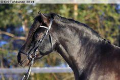 Finnhorse stallion Salmiakki Poika Finland, Coaching, Horses, Pets, Animals, Training, Animales, Animaux, Horse