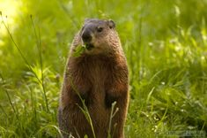 Google Image Result for http://writingfornature.files.wordpress.com/2012/08/woodchuck-020-wtr.jpg