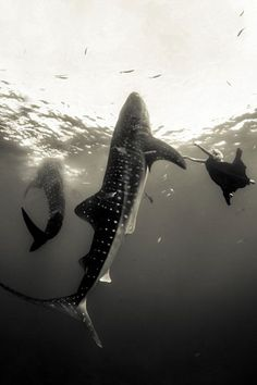 Gorgeous fashion shoot under-the-sea with whale sharks
