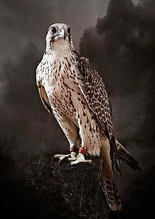 Saker Hunting Falcon I, picture from the series Falcons by Tariq Dajani, artist of category FINE WORKS at photo art editions LUMAS All Birds, Birds Of Prey, Nature Animals, Animals And Pets, Beautiful Birds, Animals Beautiful, Rapace Diurne, Photo D Art, Art En Ligne