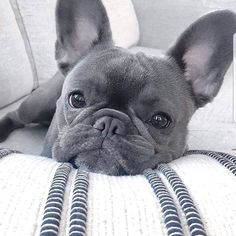 Super Cute Puppies, Cute Little Puppies, Cute Dogs And Puppies, Baby Dogs, Cute Puppy Gif, Doggies, Cute French Bulldog, French Bulldog Puppies, French Bulldogs
