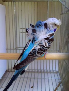 Japanese crested budgerigar (parakeets)....budgies for short a mutation; not just having a head crest but also the feathers on the back are growing upwards or twisted.
