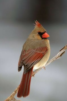 north carolina state bird northern cardinal common name cardinalis cardinalis scientific name overview the northern cardina