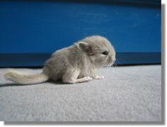 baby chinchilla! soft and cute
