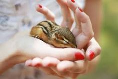 To properly take care of your chipmunk, establish his age. Chipmunks who are 1 week old is likely to be bald, have shut eyes and become 1.5 to 2″ long. By two to three months old, you'll have the ability to notice hair, even though eyes will not be open.